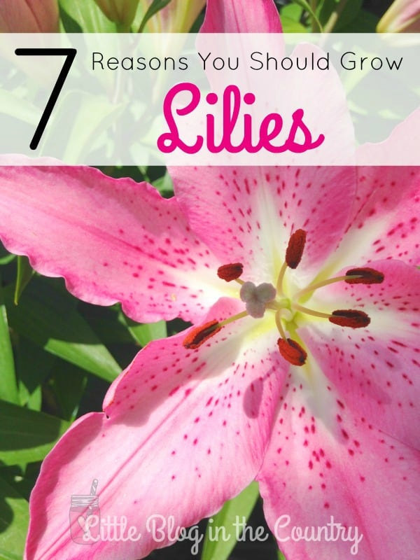 reasons you should grow lilies
