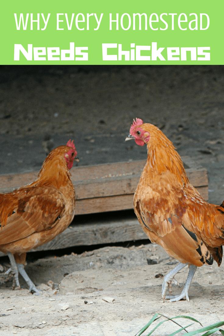 every homestead needs chickens